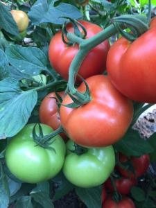 Seminte de tomate nedeterminate, Moldoveanu F1 [1]
