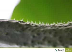 Seminte de castraveti cornison Spino F1 [1]