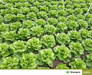 Salata Shangore [2]