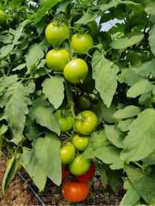 Seminte de tomate nedeterminate Kingset F1, 500 sem [0]
