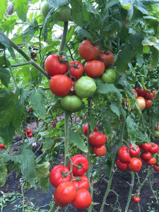 Seminte de tomate nedeterminate Kingset F1, 500 sem [4]