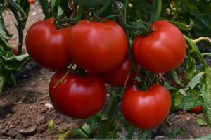 Seminte de tomate semideterminate Devonet F1, 500 sem [0]