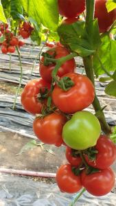 Seminte de tomate semideterminate Melanet F1, 500 sem [0]