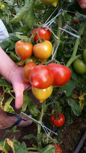 Seminte de tomate semideterminate Melanet F1, 500 sem [2]