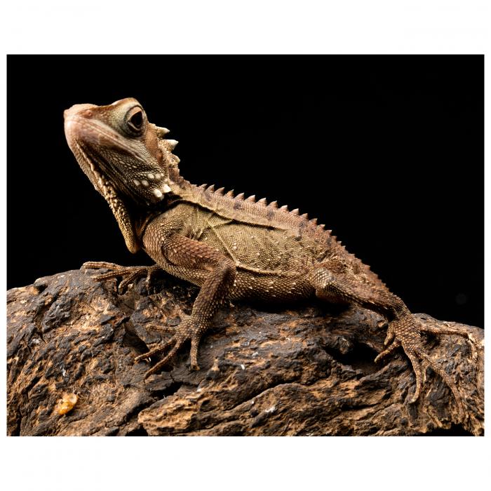 Tablou Canvas - Iguana [0]