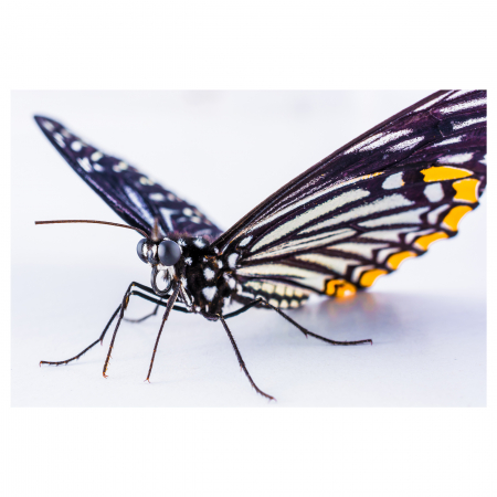 Tablou Canvas -Butterfly [0]