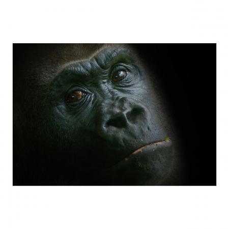 Tablou Canvas - Gorilla [0]