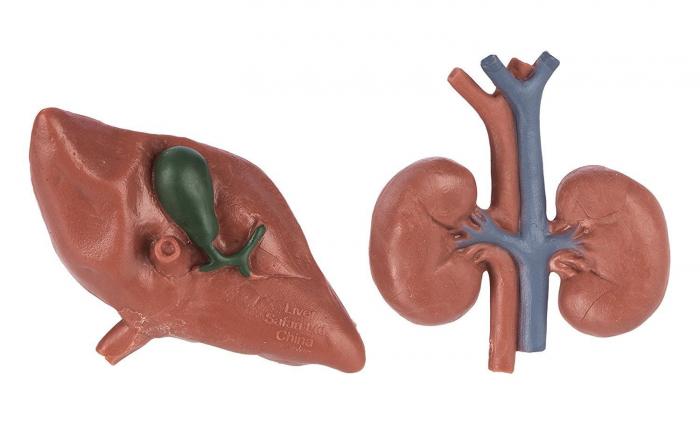 Organele corpului uman - set figurine 2