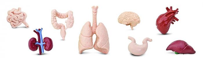 Organele corpului uman - set figurine 3
