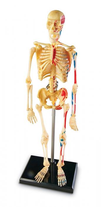 Corpul uman - Sistemul osos - 41 piese 1