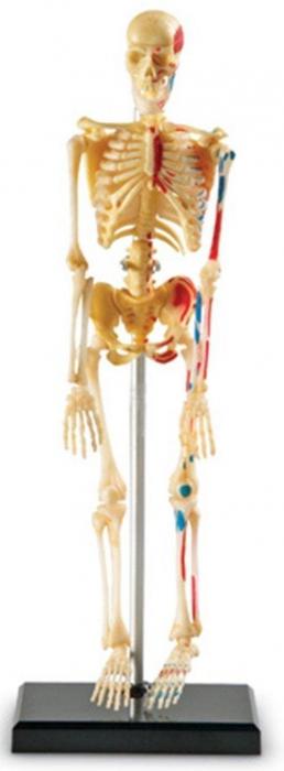 Corpul uman - Sistemul osos - 41 piese 2