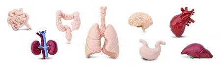 Organele corpului uman - set figurine3