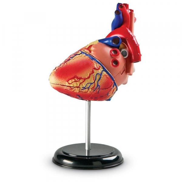 Sablon corp uman - Inima 4