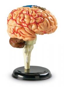 Creierul uman - macheta2