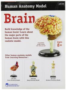 Creierul uman - macheta1