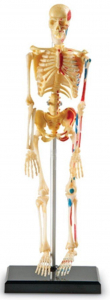 Sablon corp uman - Schelet [0]