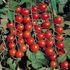 Tomate cherry Red Tim Cherry 0.5 GR 0
