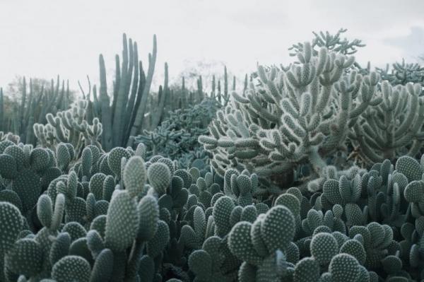 Tapet R15611 Cacti 0