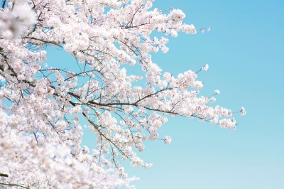 Tapet R15541- Cherry Tree0