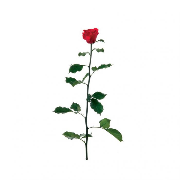 Trandafir  lux 50cm [0]