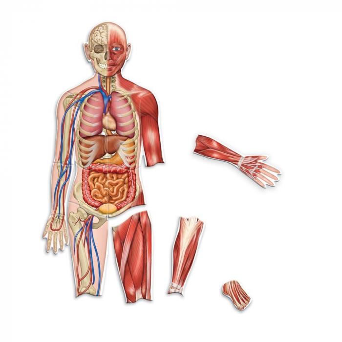 Corpul uman - set magnetic 1