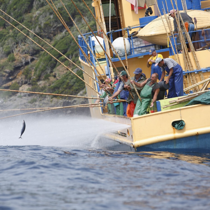 Santa Catarina ton cu ardei din Azores 1