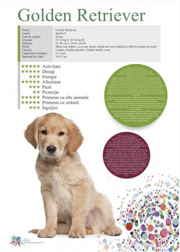 Afis Golden Retriever 50 x 70 cm 0