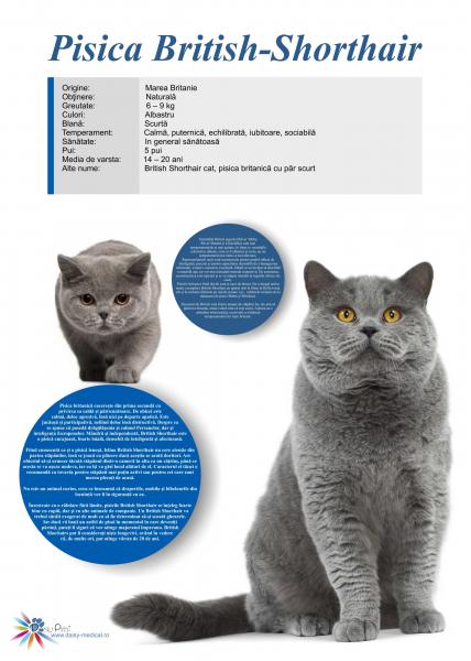Afis Pisica British Shorthair, 50 x 70 cm 0