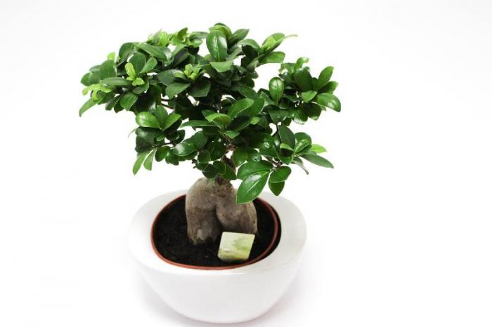 Bonsai Ficus Ginseng 40cm [0]