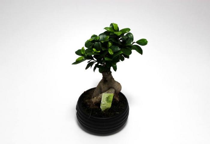Bonsai Ficus Ginseng 30cm 0