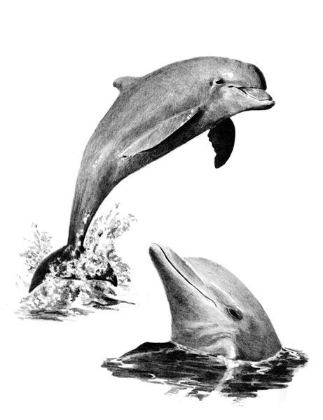 Set schita grafica, Delfini 0