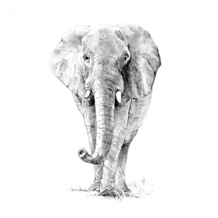Set schita grafica, Elefant [0]