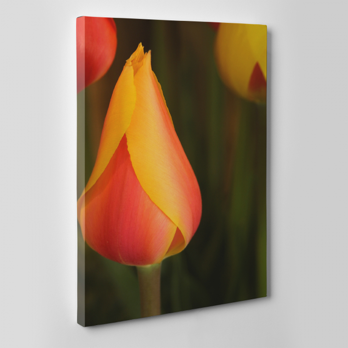 Tablou canvas floral, Young Tulip 3