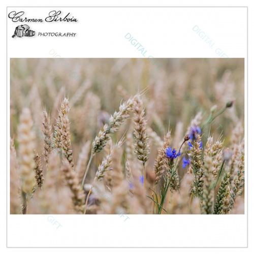 Tablou simplu - Albastru în lanul de grâu [1]