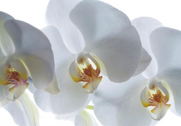 Fototapet Orhidee Albe FTSs 0832 0