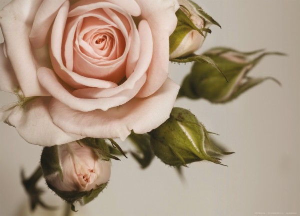 Fototapet Trandafiri Roz 0