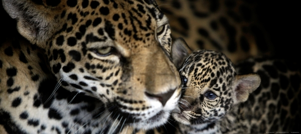 Fototapet Leoparzi - Mama si Puiul 0