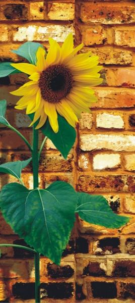 Fototapet Floarea Soarelui 0