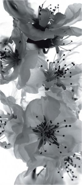 Fototapet Flori de Cires in Alb si Negru FTV 0221 0