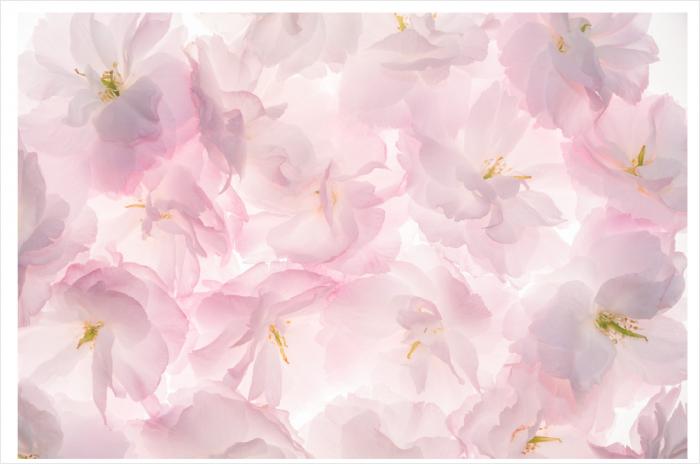 Fototapet Flori de Cires 0