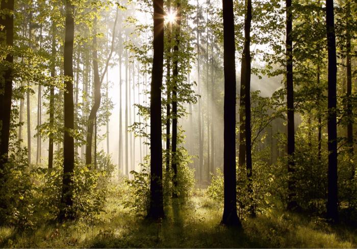 Fototapet Morning Forest [0]