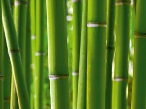Fototapet Bambus0