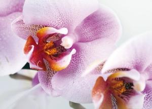 Fototapet Orhidee FTM 04891