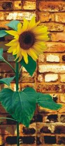 Fototapet Floarea Soarelui0