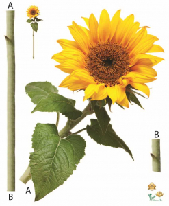 Sticker Floarea Soarelui - Sun flower - 60x80 cm [0]