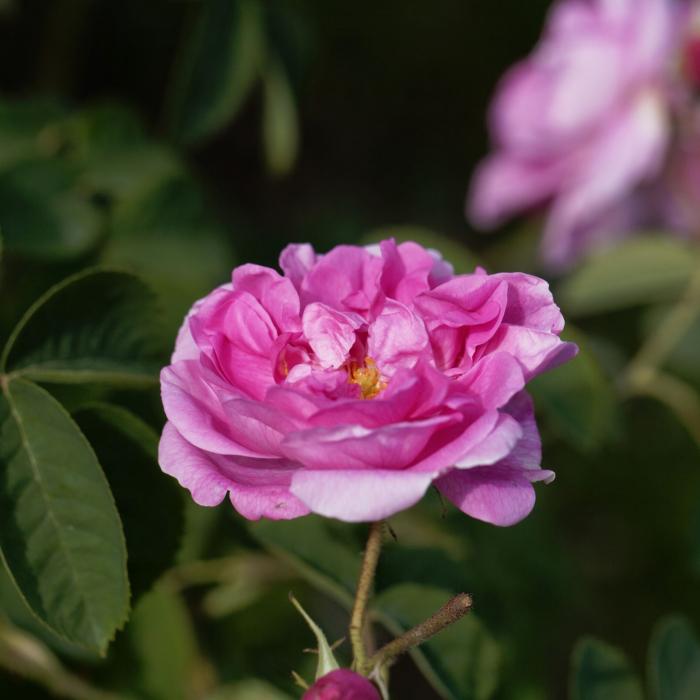 Apa florala de trandafir bio, Trio Verde, 100ml 4