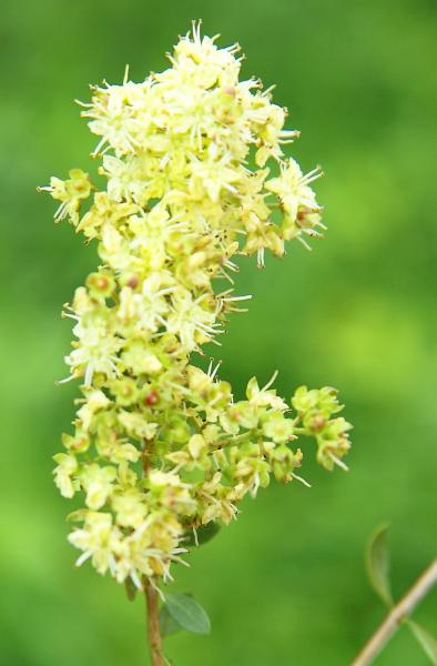 Golden Brown, vopsea de păr naturală – Şaten Auriu, Khadi 3
