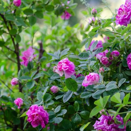 Apa florala de trandafir bio, Trio Verde, 100ml3