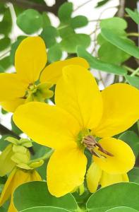 Senna Cassia, vopsea de par naturala - Henna Neutra, Khadi, 100g3