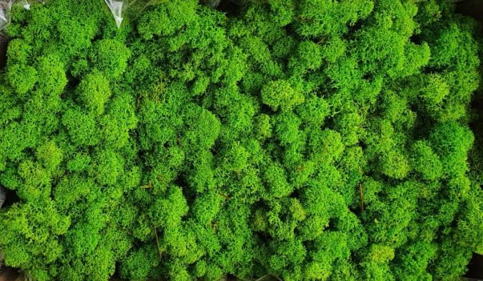 Licheni May Green Polar [0]